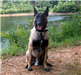 Belgian Malinois Brisco Sits for His Picture Next to River