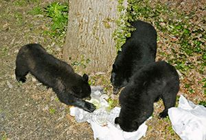 Bears Eating Trash